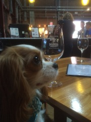 Colette the Cavalier King Charles