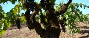 historic vineyard old vines