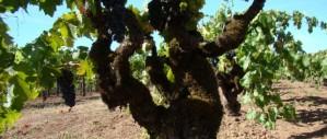 historic vineyard old vines