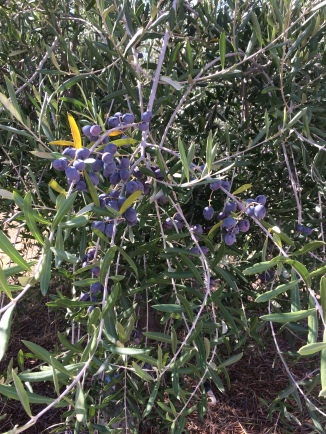 Olives nearly ready for harvest