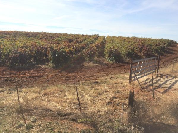 sunny-vineyards
