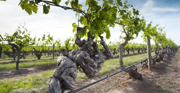 old-vine-social